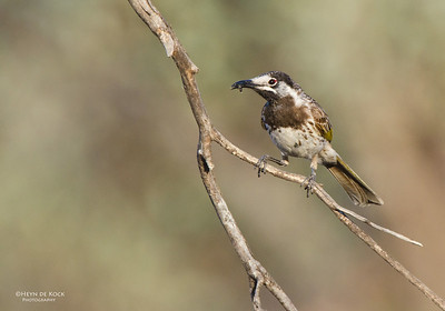 White-fronted Honeyeater, Gluepot, SA, Aus, Oct 2011