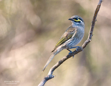 Yellow-faced Honeyeater, West Nowra, NSW, Aus, May 2012