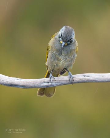 Yellow-throated Honeyeater, Melaleuca, TAS, Feb 2011-1