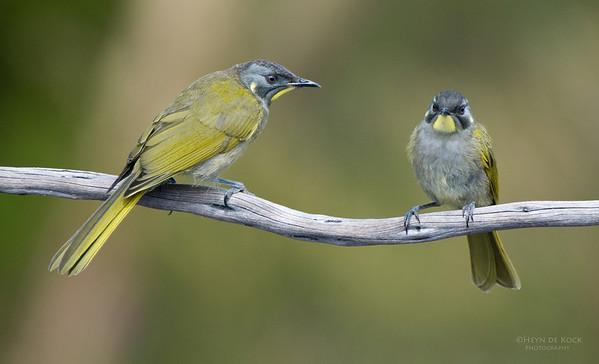 Yellow-throated Honeyeaters, Melaleuca, TAS, Aus, Feb 2011-1