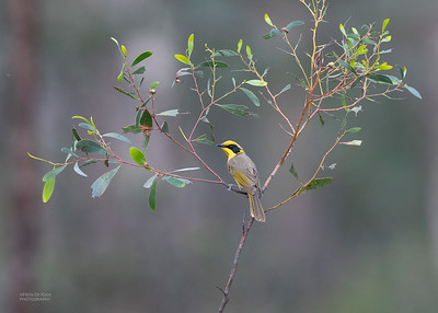 Yellow-tufted Honeyeater, Wangaratta, VIC, Oct 2018-2