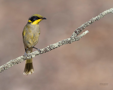 Yellow-tufted Honeyeater, imm, Wangaratta, VIC, Oct 2018