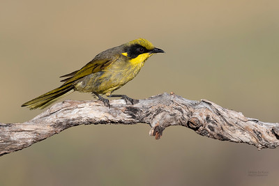 Yellow-tufted Honeyeater, Glenrowan, VIC Oct 2018-3