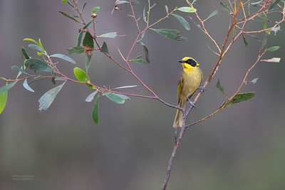 Yellow-tufted Honeyeater, Wangaratta, VIC, Oct 2018-3