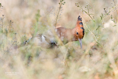 African Hoepoe, Pilansberg NP, Sept 2016