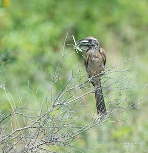 Southern Grey-hornbill, Pilansberg National Park, SA, Dec 2013-1