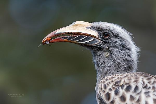 African Grey Hornbill, f, Savuti, Chobe NP, Botswana, May 2017-3