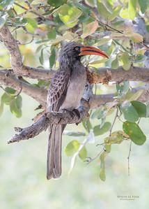 Bradfield's Hornbill, Savuti, Chobe NP, Botswana, May 2017-3
