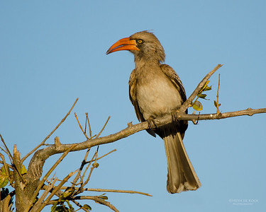 Bradfield's Hornbill, Chobe NP, Botswana, Jul 2011-1
