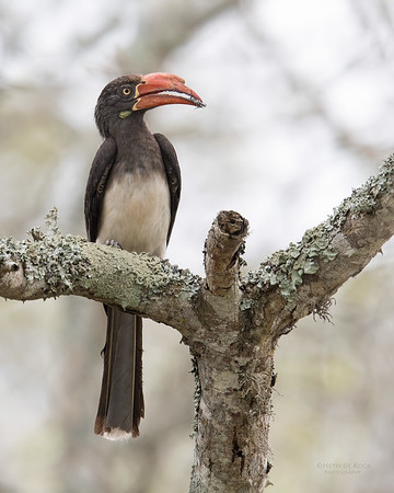 Crowned Hornbill, Phinda PGR, KZN, SA, Oct 2016-1