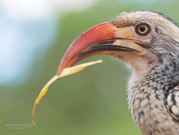 Red-billed Hornbill, Pilansberg National Park, SA, Dec 2013-1