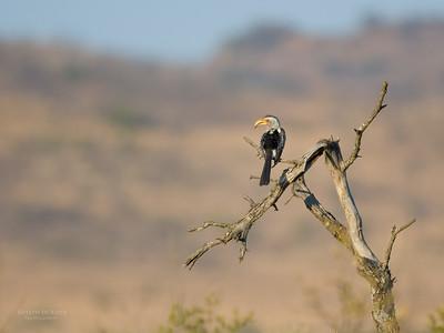Southern Yellow-billed Hornbill, Pilansberg NP, Sept 2016