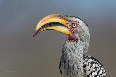 Southern Yellow-billed Hornbill, Sabi Sands (EP), SA, Oct 2016-2