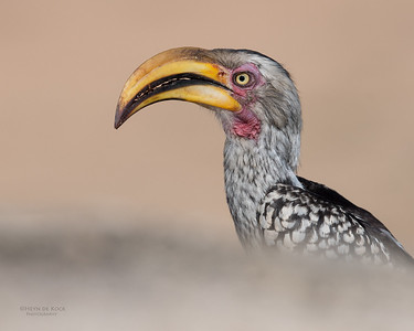 Southern Yellow-billed Hornbill, Sabi Sands (EP), SA, Oct 2016-1