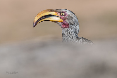 Southern Yellow-billed Hornbill, Sabi Sands (EP), SA, Oct 2016-3