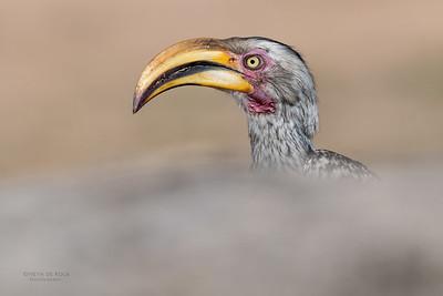 Southern Yellow-billed Hornbill, Sabi Sands (EP), SA, Oct 2016-5