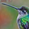 magnificant hummingbird (eugenes fulgens)