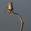 Rufous Hummingbird F72727