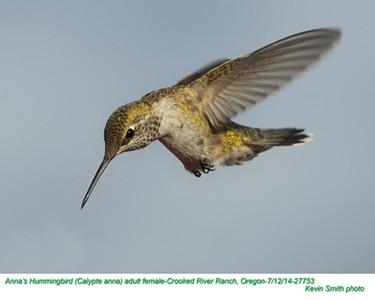 Anna's Hummingbird F27753