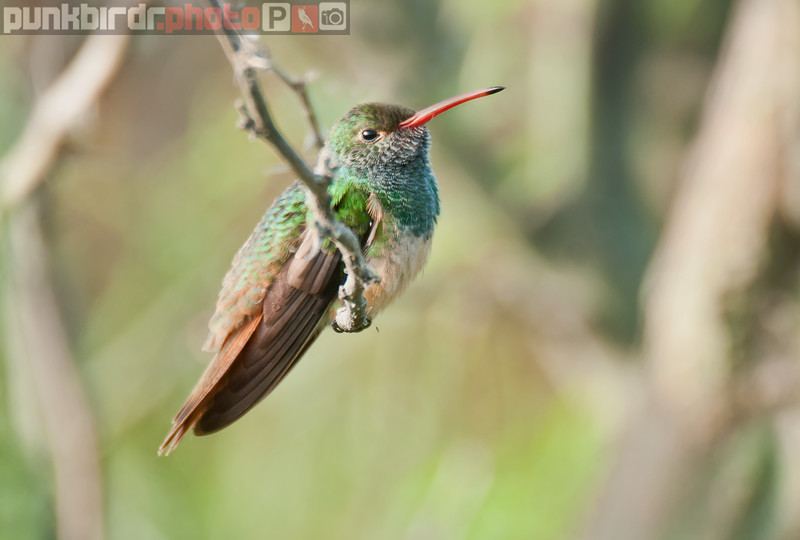 buff-bellied hummingbird (amazilia yucatanensis)