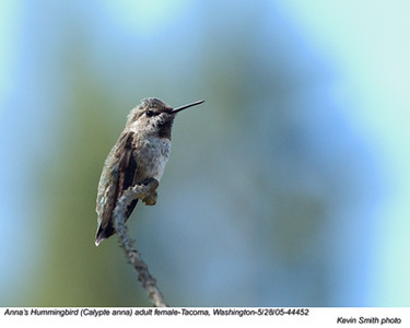 Anna'sHummingbirdF44452 - Copy