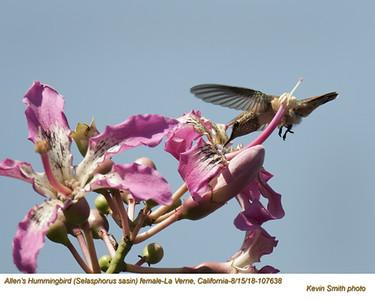 Allen's Hummingbird F107638