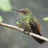 Rufous-tailed Hummingbird A88590