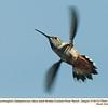 Rufous Hummingbird F72944