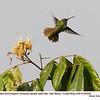 Rufous-tailed Hummingbird A84555