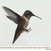 Rufous Hummingbird M27911