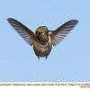 Rufous Hummingbird M29060