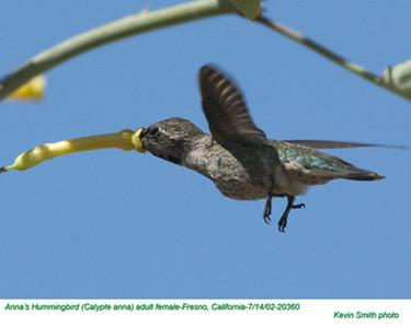 Anna's Hummingbird F20360