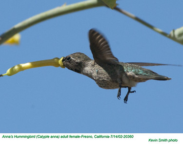 Anna's Hummingbird F20360 - Copy