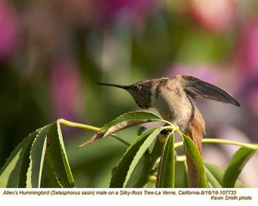 Allen's Hummingbird M107733