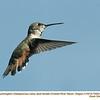 Rufous Hummingbird F72953