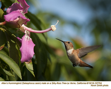 Allen's Hummingbird M107704