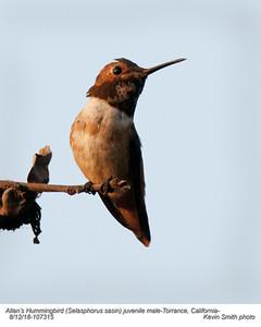 Allan's Hummingbird JM107315