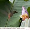 Rufous-tailed Hummingbird A88516