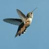 Rufous Hummingbird F72964