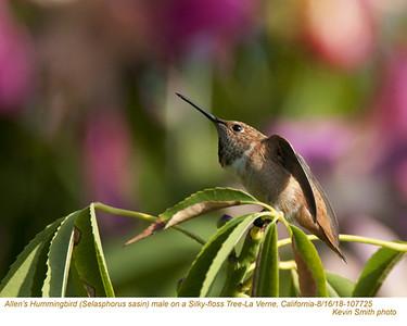 Allen's Hummingbird M107725