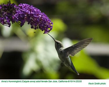 Anna's Hummingbird F25335