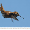 Rufous Hummingbird M26474