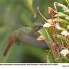Rufous-tailed Hummingbird A88601
