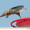 Rufous Hummingbird F71910