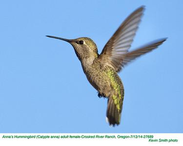 Anna's Hummingbird F27689