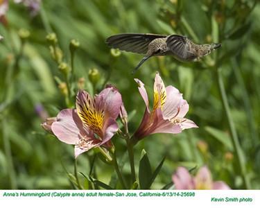 Anna's Hummingbird F25698
