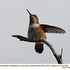 Rufous Hummingbird M27895