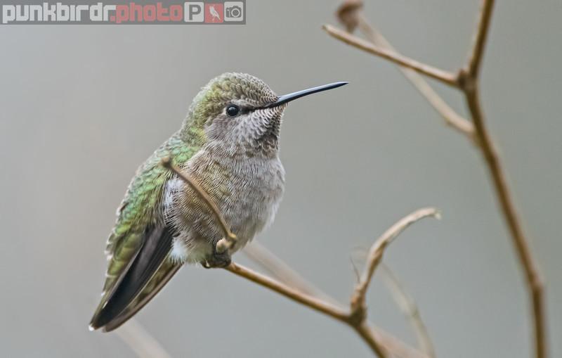 anna's hummingbird (calypte anna)