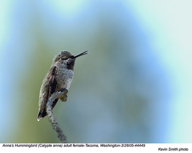 Anna'sHummingbirdF44449 - Copy