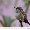 Scintillant Hummingbird F82770